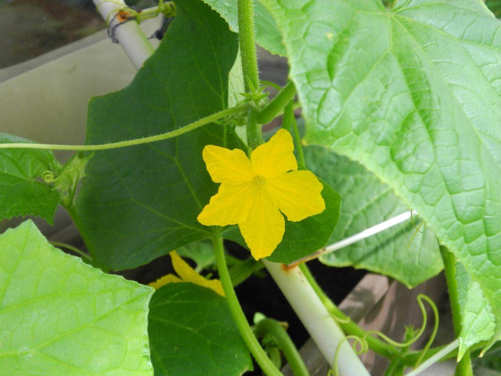 28-06-2016 Blüte wartet auf Bestäuberkuss
